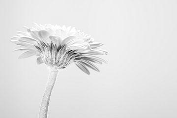 gerbera witte achtergrond high key van Wilco Bos