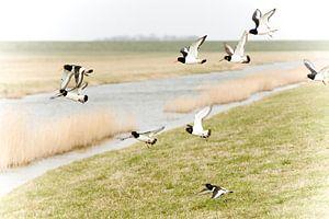 Oystercatchers / vrije vogels