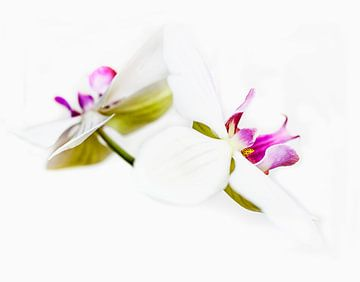 Orchideeën in kleur van