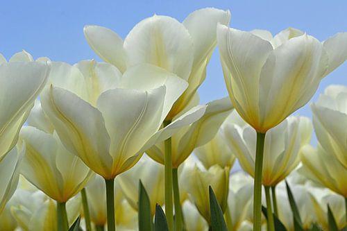 Witte tulpen in de Bollenstreek/Nederland