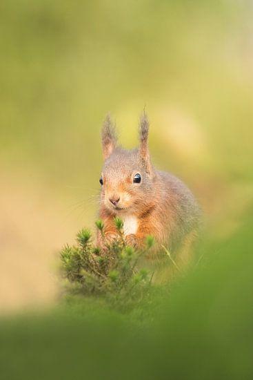Eekhoorn in fraai licht. van Francis Dost