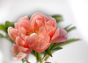 Roze Pioenroos van Joachim Küster