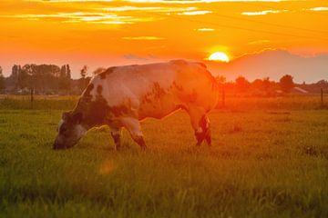 Grasende Kuh bei Sonnenuntergang von