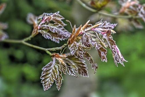 Jonge beukenbladeren