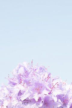 Lila Blüte im Frühling | Weiches Licht in der Sonne von Wendy Boon