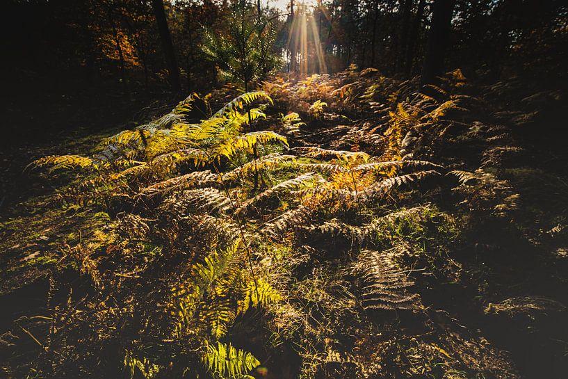 Bos varens in het stralende zonlicht van Fotografiecor .nl