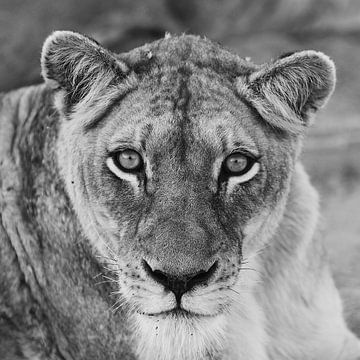 Südafrikanischer Löwe von Weg van het Noorden