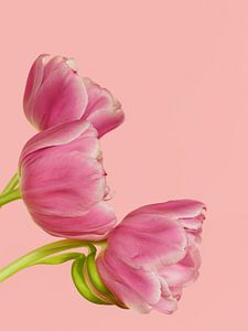 Roze tulpen trio van