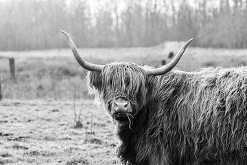 Schottische Highlander von Esther van Engen