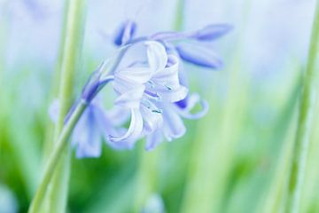 Wilde hyacint. Amelisweerd, Bunnik (NL) van Sjaak den Breeje