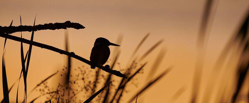 IJsvogel - Laatste licht van IJsvogels.nl - Corné van Oosterhout