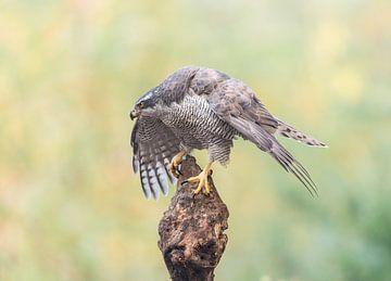 Protective Northern Goshawk! van Robert Kok