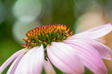 Belle fleur (enchinacea) avec bokeh en arrière-plan. sur GiPanini