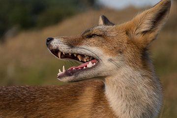 Een jonge vos van Yvonne van der Meij