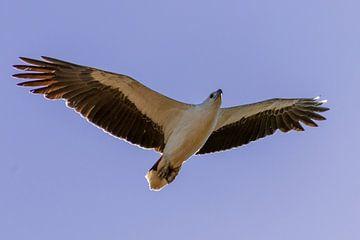 Overvliegende Zeearend gezien vanaf de grond van Henk van Dijk