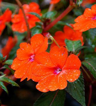 Oranje bloemetjes met regendruppels van Homemade Photos