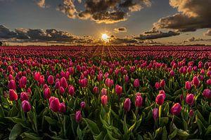 Een roze tulpenveld beschenen door zonnestralen tijdens zonsondergang van Dafne Vos