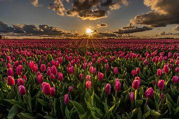 Ein rosafarbenes Tulpenfeld, beleuchtet von Sonnenstrahlen bei Sonnenuntergang von Dafne Vos