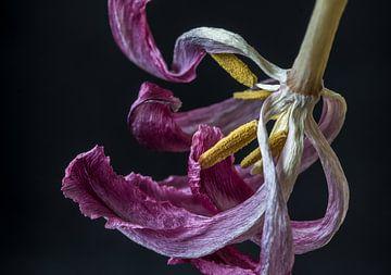Tulp in z'n laatste vorm van Marjon Birza