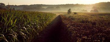 Morgennebel in den limburgischen Maisfeldern. von Márton Gutmayer