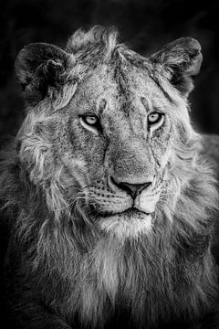 Jeune lion sur Marco Verstraaten