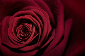 Macro - Rode roos von Angelique Brunas