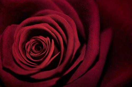 Macro - Rode roos van