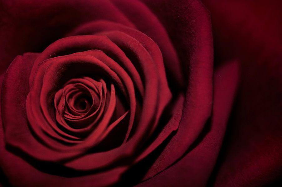 Macro - Rode roos van Angelique Brunas