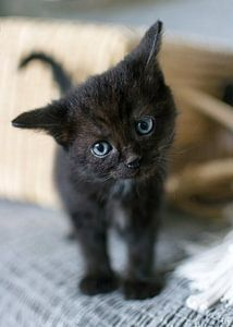 Nieuwsgierig zwarte kitten met rieten mand op achtergrond van