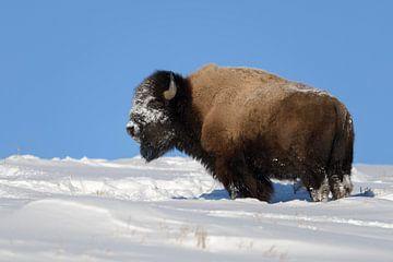 Amerikanischer Bison * Bison bison * im Schnee von wunderbare Erde