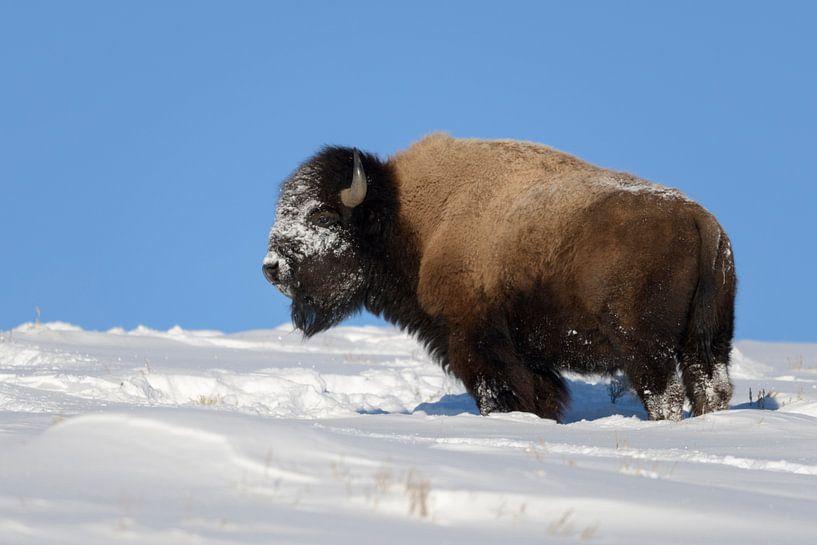American Bison * Bison bison * in winter van wunderbare Erde