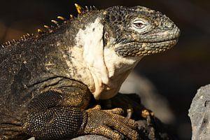 Galápagoslandleguaan