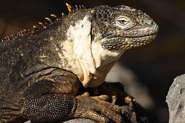 Galápagoslandleguaan van