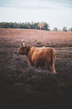 Schottischer Highlander von S van Wezep