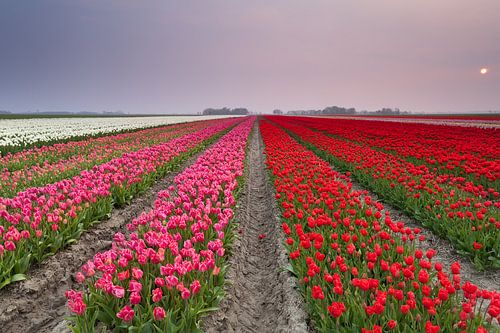 Calm sunset over tulip field van Olha Rohulya