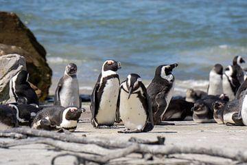 Pinguins in Zuid-Afrika van Reis Genie