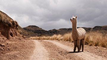 Alpaca in Peru van Ellen van Drunen