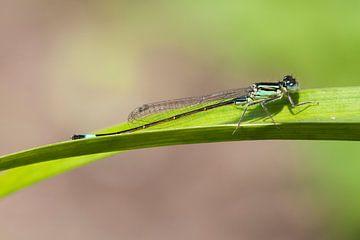 Lantaarntje (Ischnura elegans) van Tamara Witjes