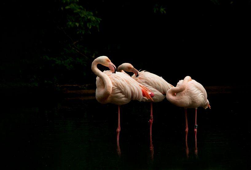 Flamingo's von hanny bosveld