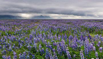 Veld van lupine bloemen op IJsland van Daan Kloeg