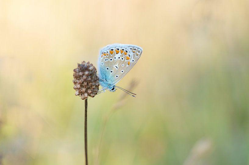 Vlinder in het warme avondlicht ( Icarusblauwtje ) van Martin Bredewold