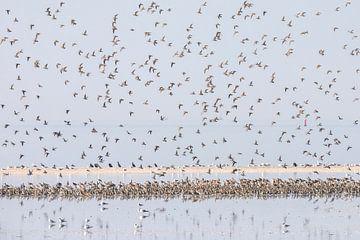 Silberregenpfeifer im Flug - Natural Ameland von Anja Brouwer Fotografie