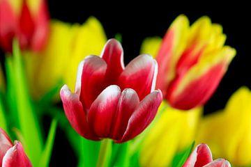 Malerische Tulpenblüte von Thomas Jäger
