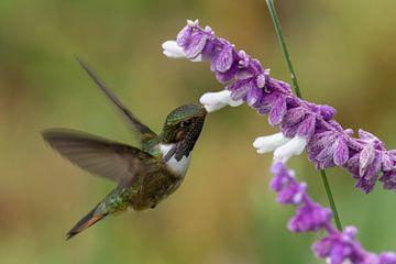 Hummingbird von Eddy Kuipers