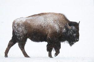 American Bison ( Bison bison ) in winter, walking through snow