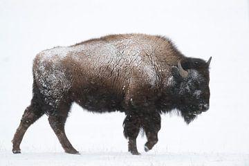 American Bison ( Bison bison ) in winter, walking through snow van