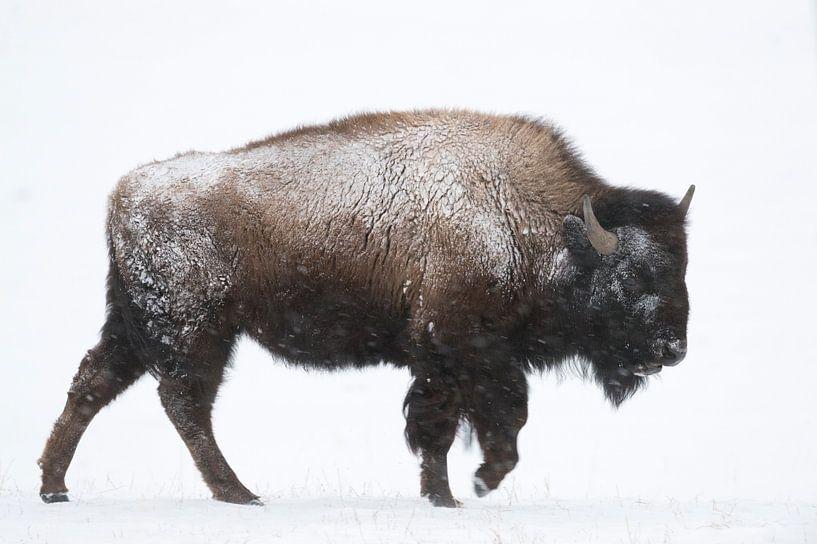American Bison ( Bison bison ) in winter, walking through snow van wunderbare Erde
