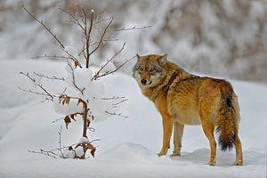 wolf in de sneeuw van