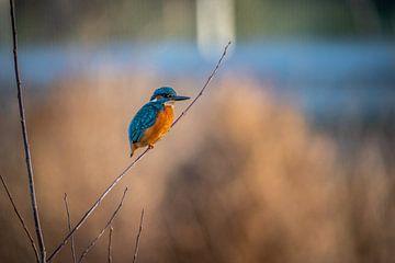 Kingfisher van Roland Hoffmann