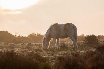 wildes Pferd im goldenen Licht von Tania Perneel